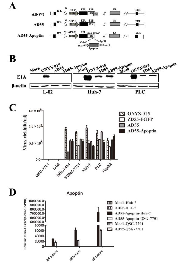 Construction of the dual regulated oncolytic adenovirus AD55-Apoptin and its selective replication in tumor cells . A . Schematic structure of recombinant adenoviruses. Compared with E1B 55KD-deficient adenovirus ZD55, the dual-regulated adenovirus AD55-Apoptin had been further modified with both the E1A promoter replaced by eAFP and the E1b55KD deletion. Then, the Apoptin expression cassette controlled by human cytomegalovirus (HCMV) promoter was obversely inserted to form AD55-Apoptin. ITR is the inverted terminal repeat sequence. B . Detection of E1A levels of recombinant oncolytic adenoviruses. L-02, Huh-7 and PLC was infected with ONYX-015, AD55 and AD55-Apoptin at the MOI of 5, after 48 hours, Western Blotting was conducted to detect E1A protein expression, β-actin was used as a protein loading control. C . 3.5 × 10 5 cells were plated into six-well plates. After 24 h, the cells were infected with 10 MOIs of AD55-Apoptin or AD55 or ONYX-015 or ZD55-EGFP, respectively. After an additional 48 h, medium and cells were scraped into 1.5 ml Eppendorf tube and subjected to three-thaw cycles. The collected supernatant was tested for virus production by standard TCID50 assay on 293 cells. Progeny viruses from 1 MOI of virus were calculated. The results were the average of two independent experiments. D . Huh-7 and QSG-7701 cells were infected with AD55 or AD55-Apoptin at the MOI of 10 for 24, 48 and 96 hours, respectively. The total RNA was collected at the indicated time and reverse transcripted into cDNA, then a real time quantitative PCR was done with the Apoptin or GAPDH primers.