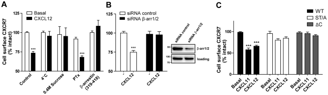 (A) CXCR7 internalization depends on CCPs and is G protein-independent. HEK293T cells were transfected with wt CXCR7 (and β-arrestin (319–418) were indicated) and cell surface levels of the receptor after CXCL12 stimulation was detected by ELISA using the CXCR7-specific antibody 11G8. Incubation with 0.4 M Sucrose was done 30 min prior and during stimulation. PTX was incubated overnight at 25 ng/ml final concentration. (B) β-arrestin1/2 knock-down prevents CXCR7 internalization. HEK293/CXCR7 cells transfected with control siRNAs (white bars) or pools targeting β-arrestin1/2 (filled bars), were stimulated with CXCL12 (10 −8 M) or vehicle for 45 min and receptor surface expression was determined. Knockdown of β-arrestin1 and -2, 48 hrs after <t>transfection,</t> was assessed in western blot using an anti-β–arrestin1/2 antibody (inset). Anti-STAT3 (mAb 79D7, Cell Signaling Technologies) was used as loading control. (C) CXCR7 C-terminus is essential for receptor internalization. HEK293T cells were transfected with wt CXCR7 (filled bars), CXCR7 ΔC (grey bars) or CXCR7 ST/A (white bars) and cell surface receptor levels were assessed as above. Data represent the mean ± SEM of at least 3 experiments each performed in triplicate. ***, p