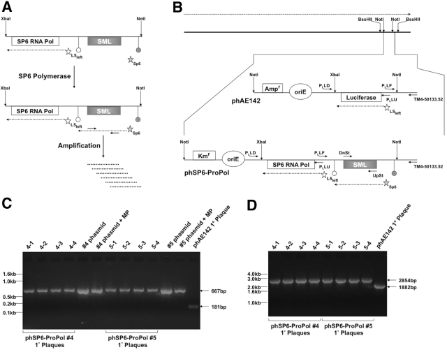 Design and characterization of phSP6-ProPol. (A) The SGM was comprised of 2 sections contained within a XbaI - NotI restriction fragment: the SP6 RNA polymerase gene (SP6 RNA Pol) under transcriptional control of the mycobacteriophage L5 P left promoter (open star) and the consensus SP6 promoter fused to the SML-encoding sequence (filled star). The SP6-SML section is flanked by 2 transcription terminators: the upstream terminator (filled circle) is E. coli rrnBT2 and precludes basal transcription through the SML-encoding sequence by host RNA polymerase; the downstream terminator (open circle) is the SP6 RNA polymerase terminator from the region downstream of the SP6 phage major capsid subunit described by Dobbins et al. ( 22 ). After expression of SP6 RNA polymerase from P left , the SML-encoding sequence downstream of the SP6 promoter was transcribed by SP6 RNA polymerase. SP6-dependent transcription of the SML-encoding sequence constituted generation of the SML. SML RNA could then be amplified and detected using primers that bind the SML. (B) The TM4 genome is depicted by the solid black line at the top of the figure. Expression of phage genes occurs on one strand of the genome, and the direction of transcription is indicated by the dashed arrow above the phage genome. Transgenic functions inserted into TM4 are contained on a NotI fragment, which is indicated and expanded. phAE142 encodes an ampicillin resistance cassette (Amp r ) and an origin of replication (oriE) for maintenance and selection of the phasmid in E. coli . phAE142 also encodes the luciferase open reading frame fused to P left . phSP6-ProPol was derived from phAE142 and replaced the luciferase-encoding XbaI - NotI fragment with the XbaI - NotI SGM. In addition, phSP6-ProPol contained a kanamycin resistance cassette (Km r ) in place of phAE142 Amp r . P left transcription occurred on the strand opposite the endogenous phage functions in both phAE142 and phSP6-ProPol. The binding sites and orientatio