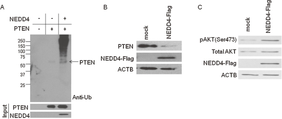 NEDD4 activated Akt signaling pathway through diminished PTEN protein level in fibroblasts. (A) In vitro ubiquitination assay of PTEN by NEDD4. NEDD4 ubiquitinated PTEN directly. (B) NEDD4 ubiquitinated PTEN directly and promoted the protein degradation. Immunoblot analysis for endogenous PTEN in NEDD4 over-expressing NIH3T3 cells. Control or NEDD4 expression vector were transfected and incubated for 48 h. β-actin (ACTB) was blotted as the loading control. (C) Over-expression of NEDD4 in NIH3T3 cells enhanced the phosphorylation level of Akt. Control or NEDD4 expression vector were transfected and incubated for 48 h. Phosphor-Akt and total Akt were detected by immunoblotting. β-actin (ACTB) was blotted as the loading control.