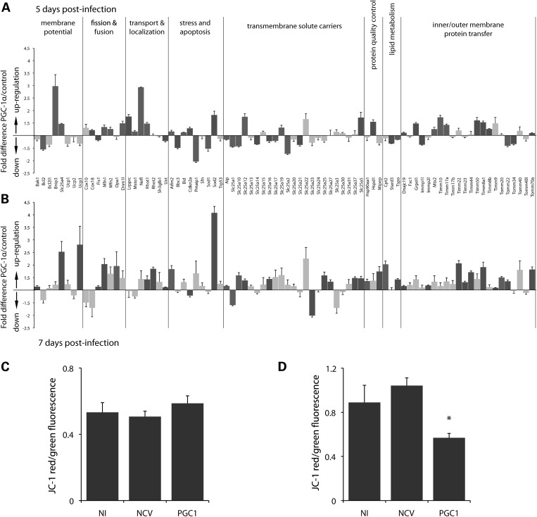 Mitochondrial transcriptome analysis of neuronal cultures overexpressing PGC-1α. Seven-day-old primary neuronal cultures from mouse ventral midbrain were infected with either a NCV or a vector encoding PGC-1α (PGC1). PCR arrays were performed at days 5 ( A ) and 7 ( B ) post-infection, to measure changes in the expression of 84 nuclear genes involved in various mitochondrial functions. Dark grey columns indicate significant changes in gene expression ( n = 4, Student's t -test, P