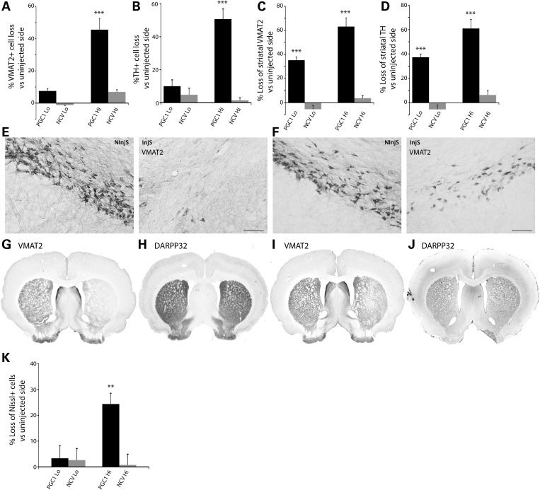 Loss of dopaminergic nigrostriatal markers in response to PGC-1α overexpression. ( A and B ) Loss of VMAT2-positive (A) and TH-positive (B) neurons in the SNpc of rats displaying either a moderate (PGC1 Lo) or a high level of PGC-1α overexpression (PGC1 Hi) in the SNpc at 3 months post-injection. Note the overt loss of VMAT2 and TH neurons in the PGC1 Hi condition. ( C and D ) Loss of striatal VMAT2 (C) and TH (D) immunoreactivity in PGC1 Lo and PGC1 Hi rats at 3 months post-injection. Note in both conditions, the loss of striatal dopaminergic markers. ( E and F ) Representative photomicrographs showing VMAT2-positive neurons in the SNpc of PGC1 Hi rats (E) and PGC1 Lo rats (F), when compared with the non-injected side (NInjS); scale bar: 100 µm. ( G and I ) Representative photomicrographs showing the loss of VMAT2 marker in the striatum of PGC1 Hi (G) and PGC1 Lo rats (I). In both conditions, striatal DARPP32 immunoreactivity remains intact ( H and J —corresponding to PGC1 Hi and PGC1 Lo, respectively). ( K ) Stereological quantification of the percentage loss of Nissl-positive neurons in the SNpc.