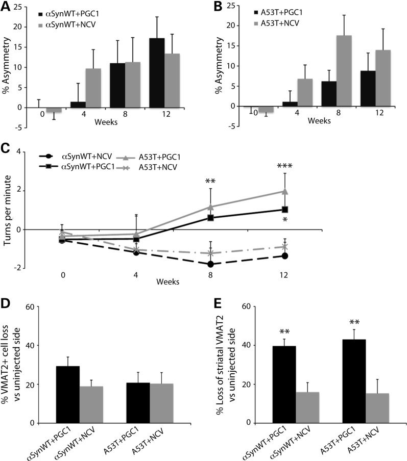 Loss of dopaminergic markers and behavioral assessment in response to PGC-1α overexpression in rats expressing human αSyn. Rats were injected in the SNpc with AAV2/6 vectors encoding either human αSynWT or the A53T mutant. The animals were simultaneously injected in the striatum with an AAV2/6 vector encoding PGC-1α or a NCV to ensure a moderate expression in the SNpc. ( A – C ) To assess motor asymmetry, forepaw activity was measured in the cylinder test (A and B) and ipsiversive rotations were measured following amphetamine administration (C). In the cylinder test, note the progressive development of an asymmetry in forepaw use typically observed following unilateral expression of αSynWT or A53T (repeated measure ANOVA, time effect: P