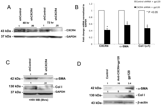 X4 gp120 induction of a-SMA and collagen I expression is CXCR4-dependent. (A) Passage #3 primary HSCs were plated at a density of 2×10 4 cells/well in 6-well plates, serum-starved for 24 hours, and then transfected with shCXCR4 or shControl. A 75% reduction in CXCR4 protein expression was noted 72 hours after transfection by Western blot. (B) 72 hours after shControl or sh CXCR4 transfection, primary HSCs were then challenged with X4 gp120 for 2 hours, RNA harvested, reverse transcribed and <t>qRT-PCR</t> performed for CXCR4, a-SMA, and coll I (a1). A 40–50% reduction in gp120-induced collagen (a1) and a-SMA mRNA levels was observed with CXCR4 knockdown. Data are expressed as the mean ± standard deviation of three independent experiments. (C) 72 hours after shCXCR4 knockdown, HSCs were challenged with HIV-IIIB for 8 hours and cell lysates used for Western blot where a 70% reduction in the protein expression of both a-SMA and collagen I was observed. (D) Human primary HSCs were pretreated with anti-CXCR4 antibody for 30 min (20 µg/ml) followed by treatment with gp120 (500 ng/mL) for 8 hours. Both X4 gp120-induced a-SMA and coll I protein expression were attenuated by anti-CXCR4 neutralizing antibody. ß-actin, a-tubulin, and GAPDH were used as loading controls. Representative Western blots with normalized densitometric arbitary units shown.