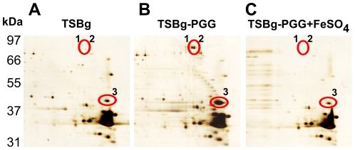 Expression of IsdA and IsdB by S. aureus <t>SA113</t> after PGG treatment. S. aureus SA113 cells were cultured in TSBg (A), TSBg-PGG (B) medium, or TSBg-PGG medium containing 100 µM FeSO 4 (C) for 24 h. Proteins extracted from bacterial surface were analyzed by two-dimensional gel electrophoresis and by silver staining. The IsdA and IsdB spots (circles) were identified by MALDI-TOF spectrometry.