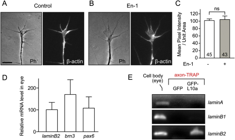 Axonal Translation of lb2 mRNA Is Selectively Regulated, Related to Figure 4 (A–C) One hour En-1 stimulation does not induce translation of β-actin mRNA, which is localized to RGC axons. ns: not significant; unpaired t test. (D) Lb2 mRNA is expressed at a similar level in the eye to other mRNAs encoding nuclear proteins as revealed by quantitatve RT-PCR. (E) Axon-TRAP analysis shows that other lamin mRNAs are not associated with ribosomes in RGC axons in vivo. Scale bar, 5 μm.