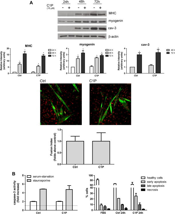 Effect of C1P on C2C12 myoblast differentiation (A) and apoptosis (B). A) Confluent C2C12 myoblasts were incubated in medium supplemented with 0.1% BSA for the indicated period of time in the absence (−) or in the presence (+) of 15 μM C1P. Upper panel: Western blot analysis of myogenic marker expression. The content of myogenin, myosin heavy chain (MHC), and caveolin-3 (cav-3) was analyzed in cell lysates (30 μg) by Western Blot analysis. Equally loaded protein was checked by expression of the nonmuscle-specific β isoform of actin. A blot representative of four independent experiments with analogous results is shown. The histograms represent band intensity of MHC, myogenin, and cav-3 normalized to β-actin and reported as mean ± SEM of four independent experiments, fold change over control (time 24 h, no addition) set as 1. The effect of C1P was statistically significant by Student's t test (* P