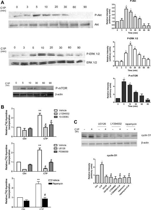 Role of C1P-induced activation of Akt, ERK1/2 and mTOR (A) on DNA synthesis (B), and cyclin D1 expression (C) in C2C12 myoblasts. C2C12 myoblasts approximately 40% confluent were serum-starved for 24 h and incubated with or without 15 μM C1P for the indicated time-intervals. A) Cell lysates were separated by SDS-PAGE and immunoblotted using specific anti-phospho-Akt, anti-pan Akt, anti-phospho-ERK1/2, anti-pan ERK1/2, anti-phospho-mTOR and anti-β-actin antibodies. Blots representative of at least three independent experiments are shown. In the histograms band intensity corresponding to phosphorylated protein was normalized to its total content or to β-actin and reported as mean ± SEM of three independent experiments, fold change over control set as 1. The effect of C1P was statistically significant by Student's t test (* P