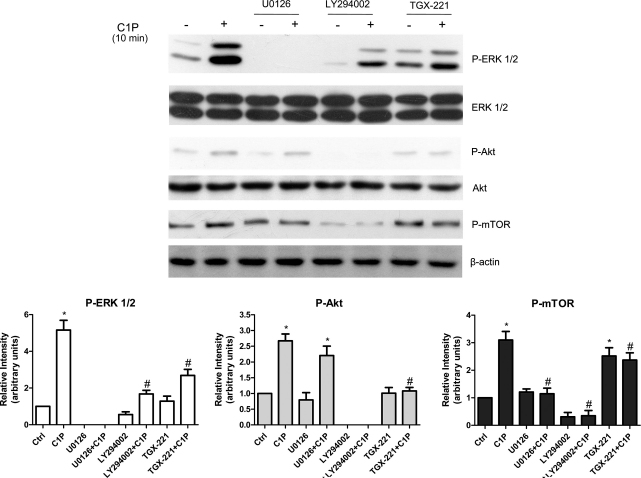 C1P-induced activation of mTOR is downstream of PI3K/Akt and ERK1/2 signaling pathways in C2C12 myoblasts. C2C12 myoblasts approximately 40% confluent were serum-starved for 24 h and pre-incubated for 30 min with PI3K inhibitor (5 μM LY294002) or MEK inhibitor (5 μM U0126) or PI3Kβ inhibitor (1 μM TGX-221) before being challenged with 15 μM C1P for 10 min. Cell lysates were separated by SDS-PAGE and immunoblotted using specific anti-phospho-Akt, anti-pan Akt anti-phospho-ERK1/2, anti-pan ERK1/2, anti-phospho-mTOR and anti-β-actin antibodies. Blots representative of at least three independent experiments are shown. Histograms represent densitometric quantification of phosphorylated protein normalized to its total content or to β-actin and reported as mean ± SEM of three independent experiments, fold change over control set as 1. The effect of C1P was statistically significant by Student's t test (* P