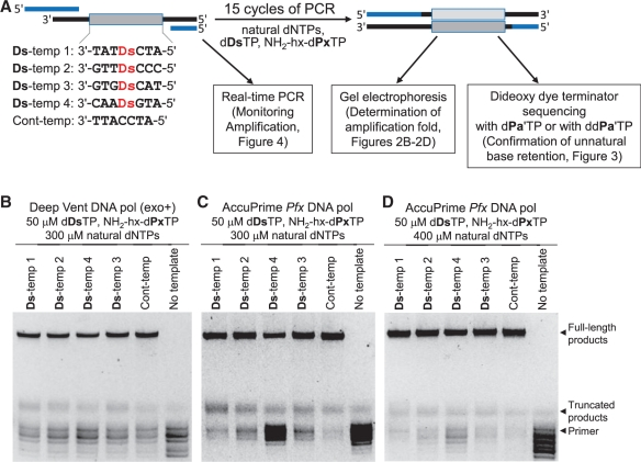 PCR amplification involving the Ds–Px pairing with various DNA templates containing Ds for the determination of PCR conditions. ( A ) Scheme for PCR amplification experiments using 55-mer DNA fragments containing one Ds base, in the presence of d Ds TP, NH 2 -hx-d Px TP and natural dNTPs. ( B–D ) Analyses by denaturing gel electrophoresis of PCR-amplified products after 15 cycles of PCR under different conditions by Deep Vent DNA pol (exo + ) (B) and AccuPrime Pfx DNA pol (C,D), for the determination of the fold amplification at the end point.