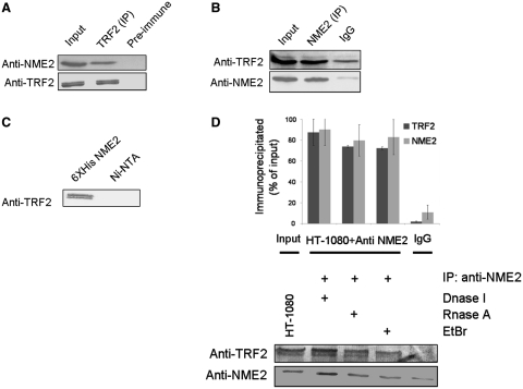 NME2 interacts with telomere binding factor TRF2. ( A ) Co-immunoprecipitation of NME2 with TRF2. HT-1080 nuclear lysate immunoprecipitated with anti-TRF2 antibody, followed by immunoblotting with anti-NME2 or anti-TRF2 antibody. ( B ) Reverse co-immunoprecipitation TRF2 by NME2. HT-1080 nuclear lysate immunoprecipitated with anti-NME2 or specific isotype and immunoblotted with anti-TRF2 or anti-NME2 antibody. ( C ) Interaction of NME2 with TRF2 in vitro . Ni-NTA only or Ni-NTA NME2 (purified his-tagged) beads were incubated with cell extracts from HT-1080 following by detection of bound TRF2 by immunoblot using TRF2-specific antibody. ( D ) Association of TRF2 and NME2 in HT-1080 cells was not affected after treatment with DNase I, ethidiumbromide (EtBr) or RNase A. Quantification is shown for IP with anti-TRF2 and anti-NME2 antibodies with respect to respective input fractions; average of three independent pull-down experiments is shown.