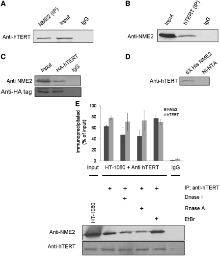 NME2 directly interacts with hTERT ( A–C ). Co-immunoprecipitation of NME2 and hTERT. HT-1080 nuclear lysate was subjected to immunoprecipitation with anti-NME2 (A), -hTERT (B), -HA-hTERT (C) antibody, followed by immunoblotting with either anti-hTERT, anti-NME2 or anti-HA-tag antibody (A, B, C, respectively). ( D ) Interaction of NME2 with hTERT in vitro . Ni-NTA only or Ni-NTA NME2 (His-tagged) beads were incubated with cell extracts from HT-1080 following by detection of bound hTERT by immunoblot using anti-hTERT antibody. ( E ) Association of endogenous hTERT with NME2 in HT-1080 cells was not changed after treatment with DNase I, ethidiumbromide (EtBr) or RNase A. Quantification is shown for IP with anti-NME2 and anti-hTERT antibodies with respect to respective input fractions; average of three independent pull-down experiments is shown.