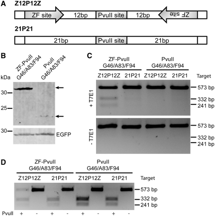 ZF-PvuII G46/A83/F94 mediated DNA cleavage in mammalian cells. ( A ) Schematic of the ZF-PvuII G46/A83/F94 target sites. The addressed Z12P12Z target site harbors an inverted repeat of ZF-binding sites separated by 12-bp spacer sequences that flank a central PvuII site. The unaddressed target site 21P21 is structured identically but lacks the ZF-binding sites. ( B ) Expression levels of ZF-PvuII G46/A83/F94 and PvuII G46/A83/F94. Cell lysates of transfected HEK293T cells were probed with antibodies against HA-tag or EGFP. ( C and D ) Cleavage activity in cellula . Cleavage of target plasmids in transfected HEK293T cells was assessed by detecting nuclease-induced mutations due to imperfect repair of DNA DSBs by NHEJ. PCR fragments encompassing the target site were either subjected to digestion with the mismatch-sensitive T7 endonuclease 1 (C) or PvuII (D).