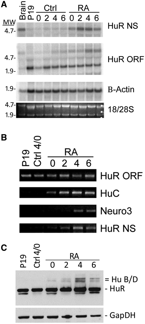 The 6.0 - kb HuR mRNA isoform is expressed during retinoic acid induced neuronal differentiation of P19 embryonic carcinoma cells. P19 cells were differentiated in the presence (RA) or absence (Ctrl) of 5 µM RA for 4 days, then replated and allowed to differentiate for 2–6 days. At each time point, total RNA was isolated via Trizol. ( A ) Northern Blot showing increasing expression of the 6.0 - kb mRNA isoform with either a neuron-specific probe (HuR NS from B ) or a probe detecting all HuR mRNA isoforms (HuR ORF from B). β-Actin and ribosomal RNA (18S/28S) were used as loading controls. MW = molecular weight as determined by position of rRNA 18S and 28S bands (B) Semiquantitative PCR to confirm results of Northern blots shown in A. PCR products show consistent expression of the HuR ORF but increased expression of the 6.0 - kb HuR neuron-specific mRNA isoform (HuR NS). Neuron-specific mRNAs HuC and Neuroligin 3 (Neuro3) were used to verify the progression of P19 neuronal differentiation. ( C ) Western blot analysis of Hu protein expression showing induction of neuronal-specific HuB and D during P19 differentiation. GapDH served as a loading control.
