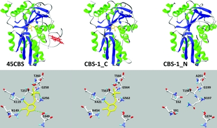 Computationally modelled CBS-1 domains The images show the fold and PLP-binding site of human 45CBS, C-terminal module of CBS-1 (CBS-1_C) and N-terminal module of CBS-1 (CBS-1_N). The crystal structure of the human enzyme shows hydrogen bonds between amino acid residues and PLP, as indicated by broken green lines. Computational modelling of the individual CBS-1 modules revealed that both modules belong to the family of fold-type II PLP-dependent proteins and that the N-terminal module cannot bind PLP due to the absence of lysine and glycine residues in the consensus PLP-binding pocket.