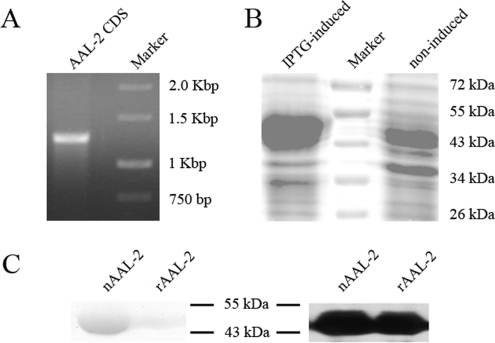 Cloning, expression and purification of AAL-2 ( A ) Total <t>RNA</t> was isolated from fresh A. <t>aegerita</t> fruiting body and amplified by reverse transcription–PCR. The AAL-2 coding sequence (~1.2 kb) was amplified by nested PCR. ( B ) The AAL-2 coding sequence was cloned into pET-30a plasmids followed by transformation into E. coli BL21 cells. A strong band appeared at approximately 43 kDa after IPTG-induction for 5 h compared with non-induction. ( C ) nAAL-2 and rAAL-2 showed the same electrophoretic mobility on SDS/PAGE and shared the same immunogenicity after immunoblotting with the anti-nAAL-2 polyclonal antibody. Molecular masses are indicated in kDa.