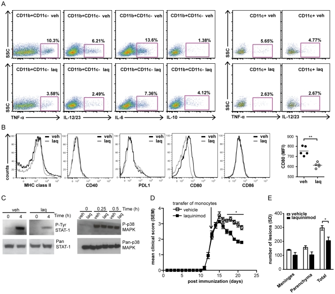 Laquinimod-induced type II (M2) monocytes reverse established EAE. Laquinimod-induced anti-inflammatory cytokine shift in CD11b + CD11c − and CD11c + cells. (A) FACS analysis of intracellular production of TNF, IL12/23p40, IL-6 and IL-10 by CD11b + CD11c − and CD11c + cells isolated from spleens of naive (unimmunized) mice treated with laquinimod or vehicle. (B) Cell surface FACS analysis of MHC II, proinflammatory and inhibitory costimulatory molecules on CD11b + CD11c − cells. (C) In vivo laquinimod treatment affects signaling pathways that participate in proinflammatory cytokine production. Protein extracts were isolated from peritoneal macrophages of naïve C57BL/6 mice treated with laquinimod or vehicle and stimulated with LPS for various time points. Phosphorylated (P) STAT1, (P) p38-MAPK, Pan-STAT1 and Pan-p38-MAPK were detected by Western blot analysis. (D) CD11b + cells from laquinimod-treated donor mice reversed established EAE. 5×10 6 purified splenic CD11b + cells from mice treated with laquinimod or vehicle were injected i.v. into recipient C57BL/6 mice immunized with MOG p35–55 after they developed a disease grade of 2 (black arrow indicates time point of adoptive transfer, (n = 5/group). (E) Quantification showed reduced total number of inflammatory foci after adoptive transfer of in vivo laquinimod treated CD11b + cells into C57BL/6 mice immunized with MOG p35-55. Data shown in panels above are representative of three independent experiments. For EAE disease course, mean disease score ± s.e.m. are displayed; *P
