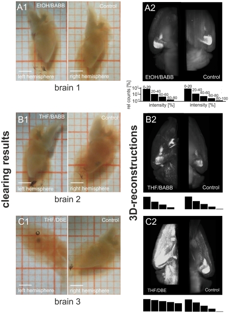 Comparison of THF/DBE clearing with ethanol/BABB. A–B : Left and right brain hemispheres from two mice (postnatal day 101). The left hemispheres of each animal were dehydrated with ethanol, or THF. The corresponding right hemispheres were dehydrated with ethanol as a control. Afterwards, the hemispheres were rendered transparent with BABB (A1 and B1. C : Left and right brain hemisphere of an exemplary mouse (postnatal day 101). The left hemisphere was dehydrated with THF and cleared with DBE. The right hemisphere was dehydrated with ethanol and then cleared with BABB as a control (C1). From all hemispheres 3D reconstruction were performed by UM (A2–C2, Olympus objective XLFluar 4×, N.A. 0.28). As evident from A–C, THF-dehydration provides an improved fluorescence signal (B2), and considerably reduced background fluorescence (B2), while DBE-clearing provides considerably better tissue transparency (C1) and strikingly better fluorescence preservation (C2). The black bars below A2–C2 represent intensity histograms of the respective image stacks used for 3D reconstruction. Length of scale bars in Figures A1–C1 is 2 mm. Scales are identical for all histograms A2–C2 and thus are only shown in the upper two histograms.