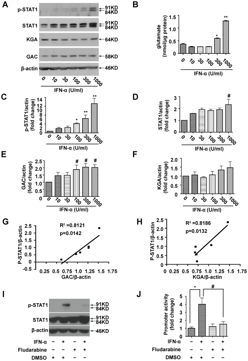 STAT1 phosphorylation is required for IFN-α to activate the GLS1 promoter and induce glutaminase expression and function. (A). MDM were treated with different doses of IFN-α for 24 hours, then p-STAT1 (Tyr 701), STAT1, KGA and GAC were detected by Western blot. β-actin was used as a loading control. (B). Intracellular glutamate was detected using the Amplex ® Red Glutamic Acid/Glutamate Oxidase Assay Kit. The data are representative of three independent experiments using three different donors and are the means of triplicate samples. (C-F). Levels of p-STAT1 (C), STAT1 (D), GAC (E) and KGA (F) in Western blot (A) were normalized as a ratio to β-actin and shown as fold change relative to control. Results are shown as the average ± SEM of three independent experiments with three different donors, (G, H). Correlation of p-STAT1 with GAC (G) and p-STAT1 with KGA (H) in representative donor are shown. (I, J). HEK 293T cells were co-transfected with the GLS1 promoter construct and pRL-SV40. 24 hours later, the cells were pretreated with 1 µM fludarabine or 1:10,000 DMSO for 1 hour, then treated with or without 100 U/ml IFN-α for 24 hours. (I). p-STAT1 and STAT1 were detected by Western blot, β-actin was used as a loading control. (J). Luciferase activity in the lysates was measured by luminescence detection. Renilla luciferase was used to normalize transfection efficiency. The data are representative of three independent experiments and are the means of triplicate samples. #, p