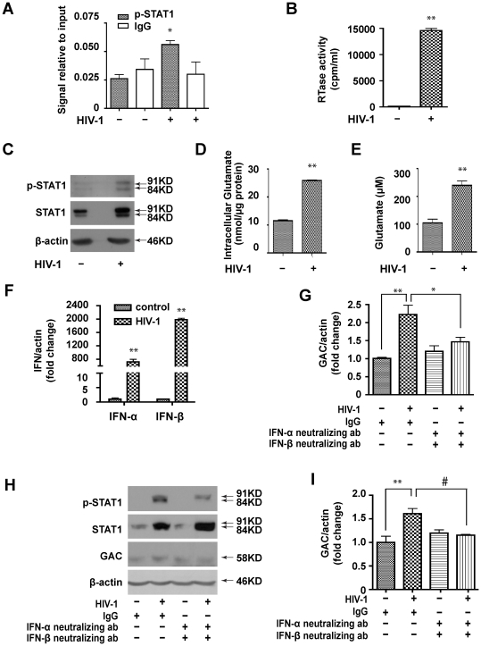 STAT1 binds directly with the GLS1 promoter in HIV-1 infected MDM. (A-E). MDM were infected with or without HIV-1 ADA for 5 days. (A). ChIP was performed using p-STAT1 (Tyr 701) antibody; IgG was used as a negative control. (B). Supernatants were tested for RTase activity. (C). p-STAT1 and STAT1 were detected by Western blot with β-actin used as a loading control. (D). Glutamate was detected in supernatants by HPLC. (E). Intracellular glutamate was detected using the Amplex ® Red Glutamic Acid/Glutamate Oxidase Assay Kit. The data (A-E) are representative of three independent experiments using three different donors. (F) Human MDM were infected with HIV-1 for 5 days, then total RNA was collected. IFN-α and IFN-β mRNA levels were determined by real-time RT-PCR. Results shown are representative of three independent experiments using three different donors and are means of triplicate samples. (G-I) Human MDM were infected with HIV-1 for 5 days in the presence of IgG or IFN-α/IFN-β neutralizing antibodies. Total RNA and cell lysates were collected and GAC mRNA (G) and protein (H and I) levels were determined by real time RT-PCR and Western blot, respectively. For quantification, GAC expression were normalized as a ratio to β-actin and shown as fold change relative to IgG control . Results (F, I) are shown as the average ± SEM of three independent experiments with three different donors, #, p
