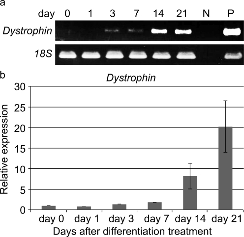 Expression of dystrophin mRNA in the FTCVs during myogenic induction. a RT-PCR analysis. Time course of dystrophin and ribosomal RNA 18S mRNA expression at the indicated day after treatment with 5-azacytidine ( N negative control lanes without reverse transcriptase, P RNAs from human skeletal muscle as positive control). b qPCR analysis. Time course of dystrophin mRNA expression at the indicated day after treatment with 5-azacytidine. The value obtained before treatment with 5-azacytidine was set to 1. Each value ( n =3) represents the mean ± SD