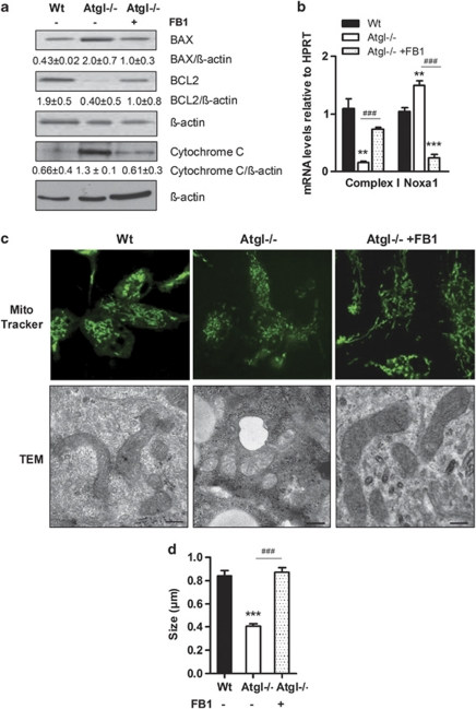 Inhibition of ceramide synthesis eliminates mitochondrial apoptosis and mitochondrial dysfunction in Atgl–/– macrophages. ( a ) BAX, BCL2 and cytochrome c protein levels in cytosolic fractions of Wt, Atgl–/– and FB1-treated Atgl–/– macrophages were assessed by western blotting. Data are presented as the ratios of the protein expressions relative to β -actin of two independent experiments±S.E.M. ( b ) NADH/ubiquinone oxidoreductase (complex I) and Noxa1 mRNA levels including normalization to hypoxanthine-guanine phosphoribosyltransferase (HPRT) were determined in Wt, Atgl–/– and FB1-treated Atgl–/– macrophages by real-time PCR. Data are expressed as mean values ( n =3–5)±S.E.M. ** P ≤0.01, *** P ≤0.001; ### P ≤0.001. ( c ) Mitochondrial morphology of Wt, Atgl–/– and FB1-treated Atgl–/– macrophages. Upper row: representative confocal laser-scanning microscopy images after green MitoTracker staining are shown. Lower row: representative electron micrographs. Scale bars: 0.2 μ m. ( d ) Size quantification of mitochondria visualized by electron microscopy. Data are expressed as mean ( n =45–48) ±S.E.M. *** P ≤0.001; ### P ≤0.001