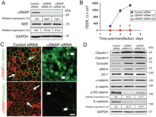 siRNA-mediated depletion of αSNAP prevents formation of the paracellular barrier and AJ/TJ assembly, and selectively downregulates p120 catenin and E-cadherin expression. ( A ) Immunoblotting analysis shows that two different αSNAP-specific siRNA duplexes (D1 D2) dramatically decrease its protein expression in SK-CO15 cells on day 3 post-transfection. ( B ) TEER measurements demonstrate that αSNAP-depleted SK-CO15 cell monolayers fail to develop the paracellular barrier. ( C ) Immunofluorescence labeling shows formation of normal β-catenin-based AJs and occludin-based TJs (arrows) in control SK-CO15 cell monolayers on day 4 post-transfection. By contrast, αSNAP-depleted cells have significant intracellular accumulation of β-catenin and fragmented TJ strands (arrowheads). ( D ) Immunoblotting analysis shows that selective αSNAP depletion increases the level of TJ proteins but dramatically downregulates p120 catenin and E-cadherin expression in SK-CO15 cells on day 4 post-transfection; *p