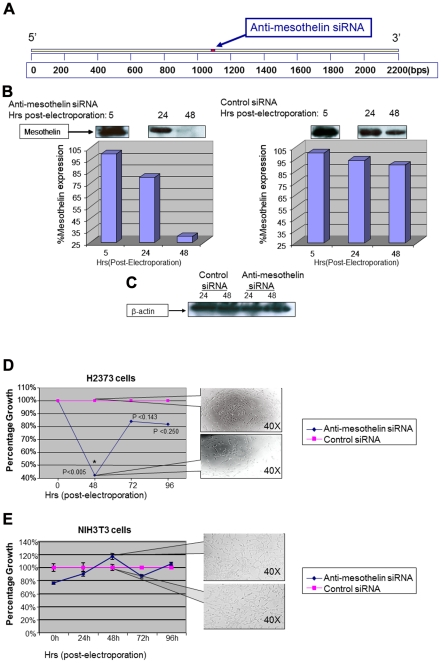 Gene specific silencing of mesothelin reduces proliferation of mesothelioma cells. (A)Anti-mesothelin siRNA was designed to a middle sequence position in mesothelin mRNA. (B)Once electroporated with anti-mesothelin siRNA, the expression levels of mesothelin was significantly reduced in H2373 cells. Negative control siRNA did not cause such reduction. Lower panel shows the results of band-densitometry comparing the intensity of mesothelin expression upon electroporation of H2373 cells with siRNA. (C)Anti-mesothelin siRNA did not affect the expression levels of β-actin, a house-keeping protein, as an evidence for the specificity of this anti-mesothelin siRNA for its target. (D) Proliferation rate of H2373 cells is significantly (p