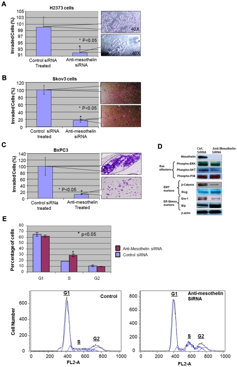 The effects of silencing mesothelin on cancer cell invasiveness, pro-oncogenic cell signaling pathways and cell cycle progression. (A) Once tested in a modified Boyden chamber assay, the invasiveness of H2373 mesothelioma cells is reduced significantly (p