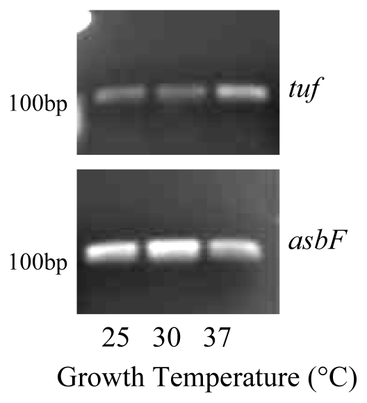 AsbF was expressed in B. thuringiensis cells grown in iron restricted medium at 25 °C, 30 °C and 37 °C. RNA was isolated from stationary phase cells and reverse transcription PCR with 25 cycles was used to detect gene expression. Experiments were performed in triplicate and a representative gel is shown the internal control tuf .