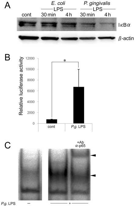 Induction of Wnt5a expression is NF-κB dependent. (A) THP-1 cells were stimulated with E. coli LPS or P. gingivalis LPS for 30 mins or 4 hrs. Whole cell extracts were prepared and analyzed by Western blot by using antibodies against IκBα. β-actin served as the protein loading control. (B) THP-1 cells were stimulated with P. gingivalis LPS for 4 hrs after being transfected with NF-κB reporter plasmid for 12 hrs, and the transcription activity was assessed by luminometer. The activity is represented by the relative luciferase activity. (C) Nuclear extracts were prepared and EMSA was performed with γ 32 P-labeled oligonucleotides representing the NF-κB consensus sequence as a probe. Anti-p65 antibody was used for supershift assays. The lower arrow shows the DNA-protein complex, and the upper arrow shows the supershifted band. *p