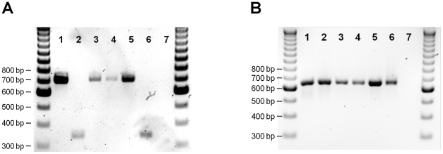 Analysis of blood meals from wild-caught sand flies in the Tbilisi VL focus. Cyanine-stained agarose gel showing (A) dog- or human-specific and (B) universal cytochrome b amplicons from polymerase chain reactions containing DNA extracted from blood-fed phlebotomine sand flies. Control products are shown in lane 1 ( Phlebotomus perniciousus fed on a dog) and 2 ( Phlebotomus dubosqi fed on a human). Products of representative samples of field-collected blood-fed Phlebotomus kandelakii are shown in lanes 3–6. Lane 7, negative control. The outside lanes are 100 basepair DNA ladders. bp = basepairs.
