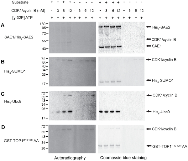 CDK1/cyclin B phosphorylates Ubc9 in vitro . (A) In vitro phosphorylation of SAE1/SAE2 by CDK1/cyclin B. CDK1/cyclin B (3 nM, 6 nM and 12 nM) was incubated with (left) or without (right) SAE1/His 6 -SAE2 for 30 min at 30°C in the presence of [γ- 32 P] ATP. The reactions were analyzed by 10% SDS-PAGE followed by Coomassie blue staining and autoradiography. (B) In vitro phosphorylation of His 6 -SUMO1 by CDK1/cyclin B. Various concentrations of CDK1/cyclin B (as mentioned above) were incubated with (left) or without His 6 -SUMO1 (right) in the presence of [γ- 32 P] ATP for 30 min at 30°C. (C) In vitro phosphorylation of Ubc9 by CDK1/cyclin B. Various concentrations of CDK1/cyclin B (as mentioned above) were incubated with (left panel) or without His 6 -Ubc9 (right panel) in the presence of [γ- 32 P] ATP for 30 min at 30°C. (D) In vitro phosphorylation of GST-hTOP1 (110–125) AA. Various concentrations of CDK1/cyclin B (as mentioned above) were incubated with (left) or without GST-hTOP1 (110–125) AA (right) in the presence of [γ- 32 P] ATP. Reaction mixtures of B, C and D were analyzed by 15% SDS-PAGE followed by Coomassie blue staining and autoradiography.