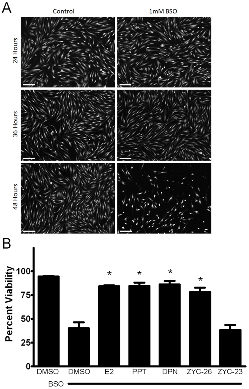 A.) <t>Calcein</t> AM imaging demonstrating cell viability between vehicle control and BSO treatment groups at 24, 36 and 48 hours. Scale bar = 200 µm. B.) Effects of E2, PPT, DPN, ZYC-26 and ZYC-23 on cell viability in BSO-treated FRDA fibroblasts. All steroid concentrations were 100 nM, DMSO concentration was 0.1% and BSO concentration was 1 mM. Depicted are mean ± SD for n = 8 per group. * indicated p