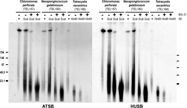 BAL-31 nuclease treatment of intact genomic DNA from the Dunaliellinia (TEL168) and the Stephanosphaeria (TEL157, TEL180). High-molecular weight DNA samples after BAL-31 nuclease treatment (15 and 45 min) and restriction endonuclease (RE) digestion (−, non digested) were analyzed by pulse-field gel electrophoresis (marker lengths in kilobase). The hybridization pattern of the probes specific for the human-type (HUSB) and the Arabidopsis -type (ATSB) telomeric sequence revealed their terminal position by a reduction of signal intensity with increasing duration of BAL-31 digestion.