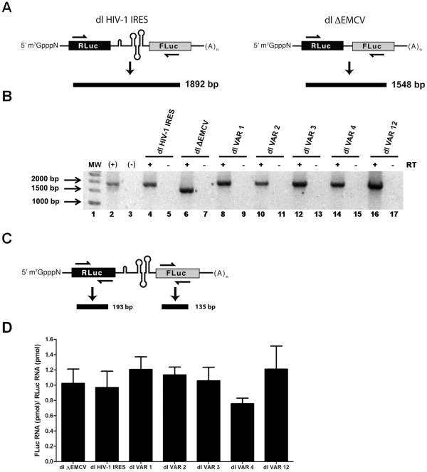 The full length bicistronic RNA is expressed from the dl VAR vectors. (A) Schematic representation of the experimental procedure to detect the full length bicistronic mRNA showing the primers and the size of the expected amplicons [23] . (B and D) HeLa cells were transfected with 200 ng of the dl HIV-1, dl ΔEMCV, or the different dl VAR plasmids. Total RNA was extracted from transfected cells and quantified. (B) Extracted RNA (3 µg) was used as template in a one-step RT-PCR designed to specifically detect the bicistronic RNAs (lanes 4, 6, 8, 10, 14, and 16). To assay for DNA contamination the same reaction was conducted in the absence of reverse transcriptase (lanes 5, 7, 9, 11, 13, 15, 17). In vitro transcribed dl HIV-1 IRES RNAs (lane 2) and water (lane 3) were included as RT-PCR controls. (C) Schematic representation of the experimental procedure to detect the RLuc-RNA and FLuc-RNA showing the primers and the size of the expected amplicons (D) Total RNA (200 ng) extracted from transfected HeLa cells was used as template in parallel RT-qPCR reactions designed to specifically detect the RLuc or FLuc containing RNAs. The RNA-FLuc concentration (pmol)/RNA-RLuc (pmol) ratio was calculated. Values are the means +/- SEM from three independent experiments (each RNA sample was amplified in three independent reactions).