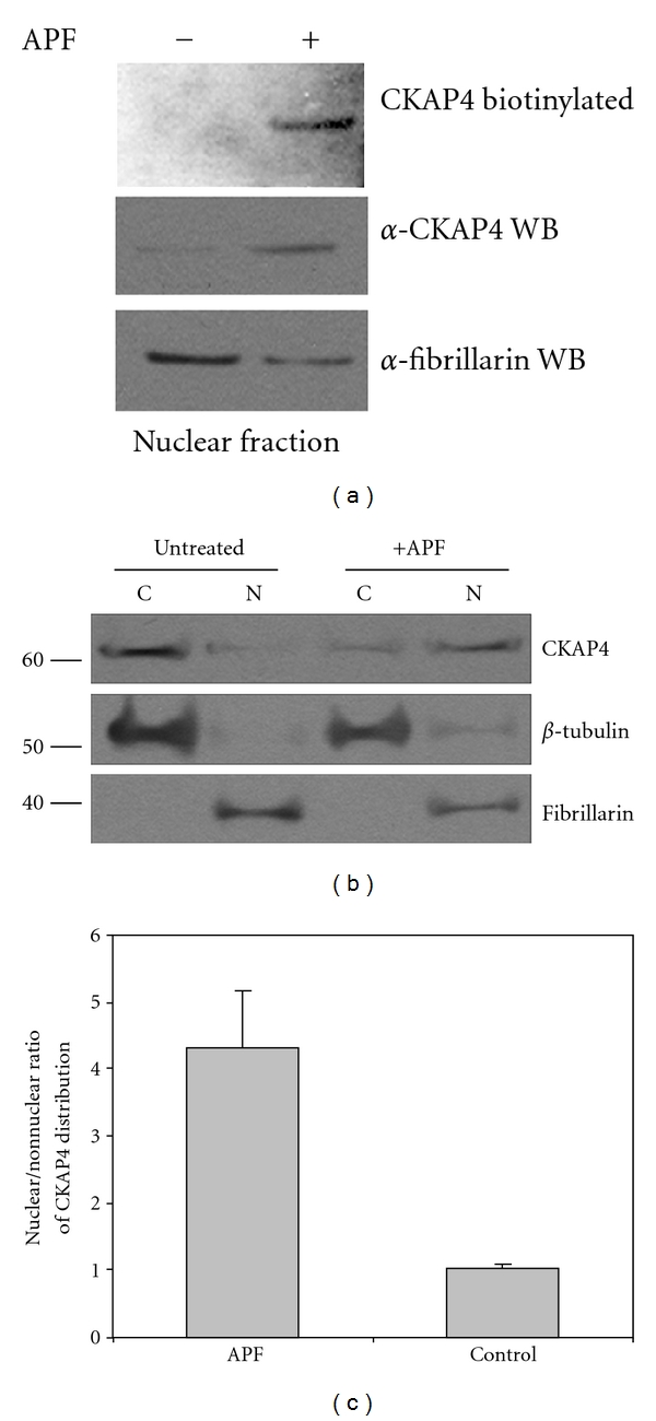 """Surface-labeled CKAP4 translocates from the plasma membrane into the nucleus following APF exposure . (a) HeLa cell-surface proteins were labeled with Sulfo NHS-biotin as described in Section 2 . Following exposure to 20 nM APF for 24 hours (or no treatment), the cells were harvested and the nuclear protein fraction was isolated (Pierce NE-PER), separated by SDS-PAGE, and transferred to nitrocellulose. The membrane was then probed with streptavidin-HRP (1 : 5000; Pierce) to bind biotinylated proteins, and the signal was detected by ECL (Pierce). Following detection of the biotinylated proteins from the nucleus, the (streptavidin) HRP on the membrane was inactivated by incubating the blot in PBS containing 3% H 2 O 2 and 1% sodium azide. The same membrane was then reprobed with antibodies to CKAP4 (""""anti-CLIMP-63"""", diluted 1 : 1000, Alexis Biochemicals) and fibrillarin (a nuclear marker and loading control; Abcam; diluted 1 : 1000). (b) HeLa cells were treated with APF (20 nM) for 24 hours, which resulted in a significant increase in the abundance of CKAP4 in the nucleus compared to control samples. Treated cells were harvested and the nuclear and cytosolic fractions were isolated and separated by SDS-PAGE as described in Section 2 . Protein expression was analyzed by Western Blotting with antibodies for β -tubulin (diluted 1 : 1000, Abcam; loading control for the nonnuclear fraction), CKAP4 (""""anti-CLIMP-63"""", diluted 1 : 1000, Alexis Biochemicals), and fibrillarin (diluted 1 : 1000, Abcam; loading control and specific marker for the nuclear fraction), and then with an HRP-conjugated anti-mouse secondary antibody (1 : 20000; ThermoFisher Scientific). The proteins were detected by ECL (Pierce) with multiple exposures to film. The integrated density of the bands on the film was measured using ImageJ. Exposure times were controlled to ensure that the signals on film were not saturated. (c) The nuclear/cytosolic ratio represents the relative distribution of CKAP4 in the n"""