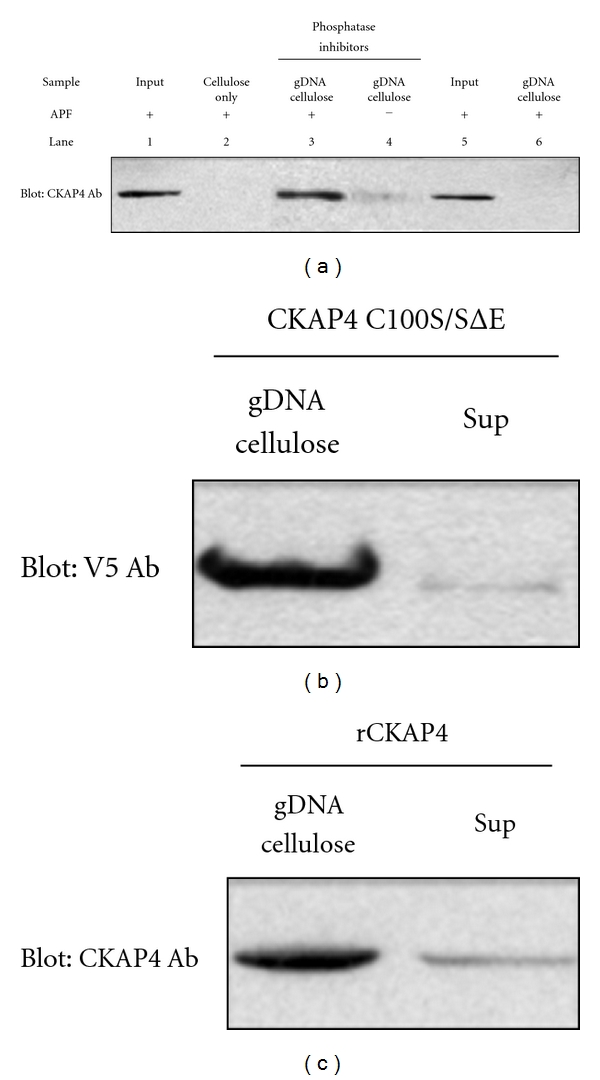 CKAP4 binds directly to genomic DNA . (a) CKAP4 binds <t>gDNA</t> in an <t>APF-dependent</t> manner (lane 3) when compared to mock-treated control (lane 4). The CKAP4-gDNA binding is phosphorylation dependent as CKAP4 isolated from cells treated without phosphatase inhibitors prior to APF treatment failed to bind gDNA (lane 6). As controls, we loaded APF treated nuclear lysates in lane 1 and phosphatase/APF treated lysates in lane 5. Lane 2 is a no gDNA cellulose control. (b) The ability of transiently transfected V5-tagged, CKAP4 C100S/SΔE to bind gDNA in the absence of APF treatment (c) and the ability of purified rCKAP4 (residues 126–501, which includes the bZIP-like DNA-binding domain) to bind gDNA were also assessed by comparing the amount of CKAP4 captured relative to what remained in the cell lysate after binding (Sup).