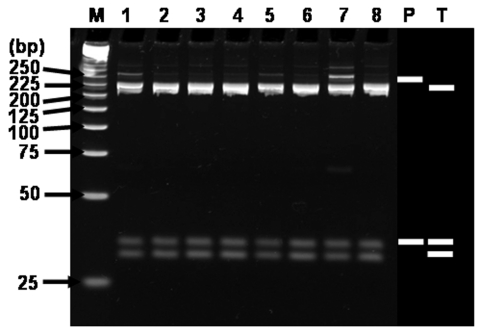 Restriction fragment length polymorphism analysis of H2-products amplified with multiplex-nested primer set from seropositive sera. Ethidium bromide–stained polyacrylamide gels of Alu I restriction endonuclease digestion of ≈230-bp rickettsial DNA amplified by using the nested primer H set WJ77/80 in the primary reactions and WJ79/83/78 in the nested reactions. Lanes: M, size marker DNA (25-bp DNA ladder); 1, H3-2; 2, H7-2; 3, H8-2; 4, H13-2; 5, H14-2; 6, H15-2; 7, H18-2; 8, H19; P, Rickettsia prowazekii ; T, R. typhi . P and T; predicted fragments after digestion. The number on the left indicates the molecular size (in base pairs) of restriction fragments.