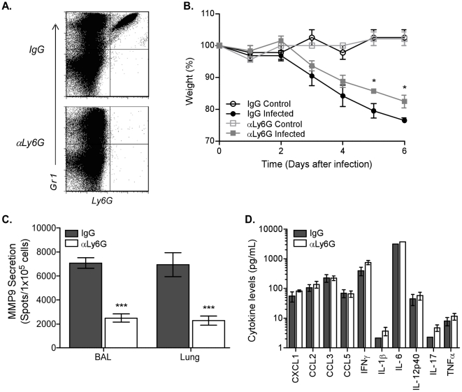 Depletion of neutrophils abrogates MMP9 secretion after influenza virus infection. Neutrophils were depleted by injecting C57BL/6 mice with 400 µg anti-Ly6G antibody (αLy6G) or isotype control (IgG) one day before infection and every other day thereafter. (A) Depletion of Ly6G+ cells in αLy6G-treated C57BL/6 mice ( bottom panel ) compared to IgG ( top panel ) was verified by flow cytometric analysis 6 days after infection. (B) Kinetics of weight loss as a percentage of starting weight in uninfected (control, open symbols ) and infected ( closed symbols ) mice treated with the αLy6G ( squares ) or IgG isotype ( circles ). (C) MMP9 secretion by cells from BAL and lung from infected mice that were treated with αLy6G ( clear bars ) or IgG isotype ( grey bars ) was measured by ELISPOT. (D) Inflammatory cytokine release in airways after neutrophil depletion. BALs were collected 6 days after infection and supernatants assayed by bead array. (B–D) Mean ± SEM (n = 3, representative of two independent experiments). (B–C) Considered significant at * P