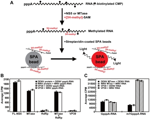 Internal methylation of RNA by flavivirus NS5 and MTase domain. (A) The principle of scintillation proximity assay (SPA). CMP-biotinylated RNA was methylated by enzyme using [ 3 H-methyl]-SAM. The biotinylated RNA containing 3 H-methyl is captured by streptavidin-coated SPA scintillation beads, leading to a signal that can be measured using a MicroBeta counter. (B) SPA analysis of internal methylation of flaviviral RNAs. Uncapped pppA-RNAs, representing the 5′-terminal 190 nt of WNV genome or the 5′-terminal 211 nt of DENV genome, were methylated by indicated recombinant proteins. The combination of protein and pppA-RNA for each reaction is depicted. (C) SPA analysis of RNA cap methylations. GpppA-RNA or m 7 GpppA-RNA, representing the first 190 nt of WNV genome or the first 211 nt of DENV genome, was methylated using the indicated MTases. Average results and standard deviations from three independent experiments are shown.
