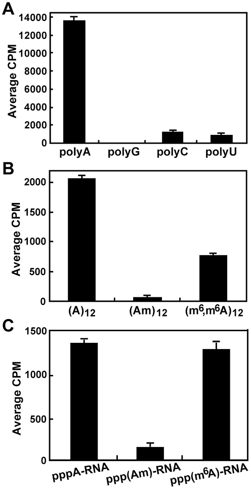 2′- O methylation of internal adenosine. (A) Incorporation of 3 H-methyl into polyA. Homopolymer RNAs (1 µg) were incubated with 2 µg of DENV-4 MTase in the presence of [ 3 H-methyl]-SAM. After the methylation reaction, the un-incorporated [ 3 H-methyl]-SAM was removed by <t>RNeasy</t> kit. The amount of 3 H-methyl incorporation was measured by a MicroBeta counting. (B) SPA-based methylation analysis of oligo (A) 12 , (Am) 12 , and (m 6 ,m 6 A) 12 . All three <t>RNA</t> oligos were 3′-end biotinylated to facilitate SPA analysis. Am indicates that the 2′-OH of adenosine is methylated. m 6 ,m 6 A indicates that the amino N 6 position of adenosine is double methylated. (C) SPA-based methylation analysis of DENV-1 RNA. pppA-RNAs, representing the 5′ 211 nt of DENV-1 genome, were in vitro transcribed using biotinylated-CTP plus unmodified ATP, 2′- O -methyladenosine triphosphate (AmTP), or N 6 methyl adenosine triphosphate (m 6 ATP). The transcription reactions generated pppA-RNA, ppp(Am)-RNA, and ppp(m 6 A)RNA, respectively. The RNAs were then subjected to SPA-based internal methylation analysis. Average results and standard deviations from three independent experiments are presented.