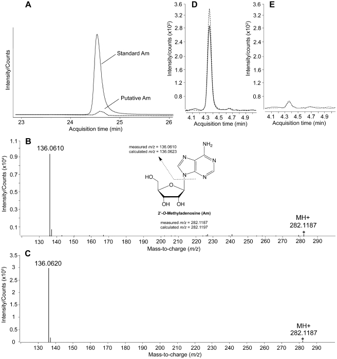 Mass spectrometric analysis of Am in MTase-treated polyA and in DENV genomic RNA. (A) Extracted ion chromatogram of ions with m/z 282.1187 from the LC-QTOF scan of putative Am in hydrolysates of DENV-4 MTase-treated polyA and of standard Am. (B,C) CID spectra of the parent ion m/z 282.1187 representing standard Am (B) and putative Am in hydrolysates of DENV-4 MTase treated polyA species (C). The inset shows the assignment of structures for the CID spectra. (D,E) LC-MS/MS quantification of Am in WT DENV-1 genomic RNA (D) and MTase E217A mutant DENV-1 genomic RNA (E); the solid and dashed lines represent technical replicates. The different retention time for Am in panel A (∼24.5 min) compared to panels D and E (∼4.4 min) is the result of different HPLC flow rates used for the two studies.