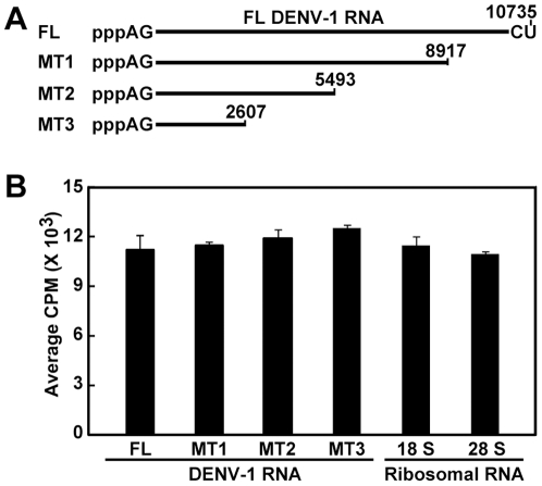 Comparison of internal methylation efficiencies between DENV RNAs and host ribosomal RNAs. (A) Full-length (FL) and 3′ truncated RNAs of DENV-1. pppAG-RNAs, representing the FL and a set of 3′ terminally truncated DENV-1 RNAs, were in vitro synthesized. Numbers indicate nucleoside positions of DENV-1 genome (GenBank accession number U88535). (B) Internal methylation analysis. An equal mass (0.5 µg) of FL and truncated DENV-1 RNAs, and human ribosomal 18 S and 28 S RNAs was treated with DENV MTase in the presence of [ 3 H-methyl]-SAM. The reactions were purified through an RNeasy column to remove unincorporated [ 3 H-methyl]-SAM. The purified RNAs were quantified for internal methylation by a MicroBeta counter. Average results from three experiments are shown; error bars represent standard deviations.