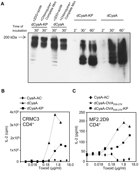 Macropinocytosed dCyaA-KP toxoid is rapidly degraded and its capacity to deliver epitopes for presentation on MHC class II molecules is compromised. (A) 10 6 J774A.1 cells were preincubated for 30 minutes at 37°C in 1 ml of D-MEM medium alone, or in D-MEM containing 1 mM chloroquine plus a cocktail of protease inhibitors (Complete Mini, Roche), or in D-MEM containing 10 mM 2DG and 0.01% of sodium azide, respectively. dCyaA or dCyaA-KP toxoids were added to a final concentration of 1 µg/ml and after continued incubation the cells were washed three times in ice-cold D-MEM at the indicated times and lyzed on ice during 30 minutes in TBS buffer containing 1% Triton X-100 and the protease inhibitor cocktail (Complete Mini, Roche). Cell nuclei were removed by centrifugation at 13,000 RPM for 10 min and supernatants of lyzed cells were separated by 7.5% SDS-PAGE. CyaA fragments were detected in Western blots using the 9D4 antibody recognizing the C-terminal RTX repeats of CyaA. The arrow indicates migration of full-length (undegraded) 200 kDa CyaA. (B) BMDC from C57BL/6 mice were pulsed with indicated concentrations of dCyaA or dCyaA-KP, or (C) with dCyaA-OVA 258–276 or dCyaA-OVA 258–276 -KP and following medium disposal, the MalE-specific hybridoma CRMC3 (B) or OVA 258–276 -specific hybridoma MF2.2D9 cells (C) were added, respectively. Secretion of IL-2 by antigen-stimulated CRMC3 hybridoma (B) was determined as proliferation of the IL-2-dependent CTL-L cell line and the results are expressed in cpm ± SE of duplicate samples. The concentration of IL-2 produced by MF2.2D9 cells upon antigenic stimulation (C) was determined by sandwich ELISA. A representative Western blot from 3 independent experiments and the averaged values from two independent antigen presentation experiments performed in duplicates (n = 4), are shown.
