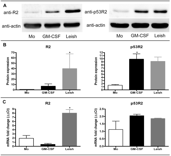Western blot analysis of ribonucleotide reductase. A) Cellular lysates from different treatment groups were analyzed for ribonucleotide reductase R2 and p53R2 subunits. Afterwards, blots were stripped and re-probed for actin. Freshly isolated monocytes (Mo), day 13 maturated GM-CSF (GM-CSF) and Leishmania (Leish) MDMs are shown. B) Quantitiation of western blots was done. Freshly isolated monocytes were set to 1 and increases in R2 and p53R2 expression levels for GM-CSF- and Leishmania -maturated MDMs groups are shown. Mean and SEM are displayed for four independent donors. C) <t>qRT-PCR</t> analysis was done on total cellular RNA extracts. mRNA fold changes for the different treatment groups (n = 3) are graphed as mean and SEM. Significantly different groups (p