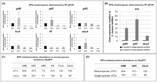 Expression of Streptococcus mutans EPS-associated genes and proteins during mixed-species biofilm development. ( A ) This panel shows RT-qPCR analysis of gtfB , gtfC , gtfD , fruA , ftf and dexA gene expression by S. mutans in mixed-species biofilms at specific time points after introduction of 1% (w/v) sucrose. The data shown are mean values ± s.d. (n = 12). The asterisks (*) indicate that the expression level of gtfB , gtfC (at 67 h) is significantly different from other time points ( P