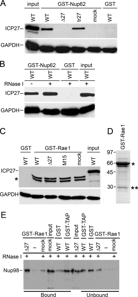 Interaction of GST-Nup62 and ICP27 does not depend on RNA or virus infection. A , Nup62 fused to GST and purified from bacteria in the absence of any other mammalian proteins. Nup62-GST was incubated with WT HSV-1-, Δ27-, and mock-infected cell extracts or with extracts from uninfected cells expressing ICP27 from a plasmid behind the CMV promoter. Upper panel , Western blotting with Abs against ICP27. Lower panel , Western blotting with GAPDH Abs as a loading control for lysates. Input and pull-downs with GST alone were added on the ends for controls. B , GST-Nup62 was incubated with WT HSV-1-infected lysates either with or without RNase I treatment. Again, GST alone and input were used as controls. C , Rae1, another transport receptor, does not pull down ICP27. Bacterially purified GST-Rae1 (67 kDa) was incubated with lysates from WT HSV-1-, Δ27 null virus-, a mutant HSV-1 strain (M15) carrying a C-terminal point mutant (P465L/G466E) in ICP27-, or mock-infected cells. Upper panel , proteins co-purifying on glutathione-Sepharose beads were analyzed by Western blotting with Ab against ICP27. GST-Rae1 did not pull down ICP27 from any of the added cell extracts. A doublet band running lower in lanes 2–5 and marked with an asterisk is a band from the GST-Rae1 bacterial protein preparation cross-reacting nonspecifically with anti-ICP27 Ab. D , bacterially expressed GST-Rae1 protein from the fusion protein preparation used in binding assays shown in Fig. 4 C was analyzed on a Coomassie-stained gel. The expected full-length protein position is shown with an asterisk , whereas the double asterisks indicate cleavage products of the full-length protein. E , GST-Rae1 and GST-TAP pull-down known partner protein Nup98. Bacterially purified fusion protein GST-Rae1 (67 kDa) was incubated in the presence of RNase I with HSV-1 Δ27 null virus-infected or mock-infected cell lysates. Another fusion protein, GST-TAP, earlier shown to interact with Nup98, and GST alone were also incubate
