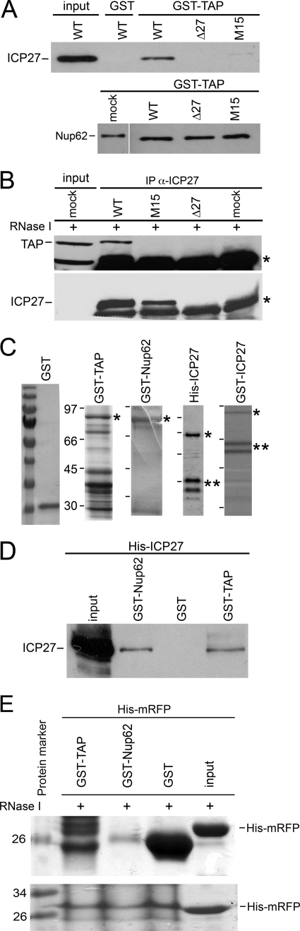 The Nup62-ICP27 interaction is direct, and TAP also binds ICP27 under similar conditions. A , GST-TAP pulls down ICP27 from WT HSV-1-infected cell extracts but not from extracts of cells infected with a viral ICP27 C-terminal point mutant (M15; upper panel ), whereas in the same binding reactions, GST-TAP pulls down Nup62 from WT HSV-1-infected cell extracts and from extracts of cells infected with a viral ICP27 C-terminal point mutant (M15) or with ICP27 null mutant Δ27 virus and from mock-infected cell extracts ( upper panel ). Bacterially expressed GST or GST-TAP was incubated with extracts from WT-, Δ27-, or M15-infected HSV-1 strains. Proteins co-purifying on glutathione-Sepharose beads were analyzed by Western blot with ICP27 or Nup62 Abs. B , ICP27 and TAP co-immunoprecipitate from HeLa cell extracts in the presence of RNase I. Co-immunoprecipitation was carried out by mixing anti-ICP27 antibodies 1113 and 1119 with HSV-1 WT and ICP27 mutant M15 and null Δ27 viruses and mock-infected HeLa cell extracts. Complexes formed were separated by SDS-PAGE followed by Western blotting with anti-TAP and ICP27 Abs. ICP27 co-precipitated TAP. Upper panel , co-immunoprecipitation of TAP in WT-infected HeLa cell extracts in the presence of RNase I by ICP27 but no co-immunoprecipitation with M15-, Δ27-, and mock-infected cells. Input , mock-infected HeLa cell extract. The lower band in the input lane could be due to another cellular protein cross-reacting with this TAP Ab, but the correct size upper band specific to TAP is clearly seen. The band marked with an asterisk is the heavy chain of IgGs used for immunoprecipitations. ICP27 immunoprecipitated itself. The lower panel shows immunoprecipitation of ICP27 in WT- and M15-infected HeLa cell extracts in the presence of RNase I by its Ab but no immunoprecipitation in Δ27- and mock-infected cell extracts. C , the purity of various fusion proteins used for in vitro binding assays. Coomassie-stained 10% SDS-PAGE of bacterially e