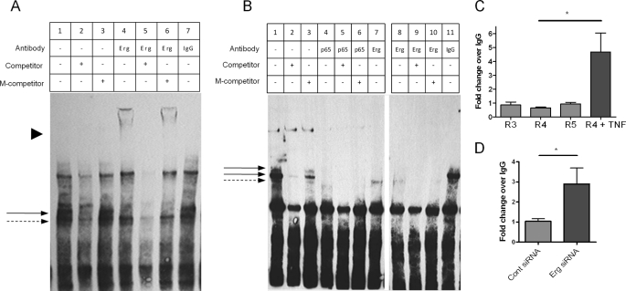 Erg binds to ICAM-1 promoter through EBS −118 and −181, and NF-κB p65 binds to EBS −181. A , and B , biotinylated oligonucleotides containing sequences from the ICAM-1 promoter EBS −118 ( A ) or the EBS −181 ( B ) were incubated with nuclear lysate from resting HUVEC. Antibodies to Erg, p65, or IgG were incubated with nuclear extract-oligonucleotide complexes as indicated. Specificity was measured by addition of saturating amounts of competing oligonucleotide (competitor) or competing oligonucleotide with a mutation in the EBS −118 ( A ) or −181 ( B ) (M-competitor). Shifted protein-oligonucleotide complexes are indicated by an arrow and super-shifted complexes are indicated by arrowhead . Images are a single representation of at least 3 separate experiments. C and D, ChIP was carried out on sheared chromatin from confluent resting HUVEC ± TNF (10 ng/ml for 30 min) ( C ), or HUVEC treated with Erg or control siRNA ( D ) using an anti-NF-κB p65 or control IgG antibody. Immunoprecipitated DNA was analyzed by qPCR for primers covering ICAM-1 promoter regions (R) 3–5 ( C ) or 4 ( D ) and negative control region. Results are expressed as fold-change compared with IgG normalized to input and negative control region. n = 4 ( C ), n = 6 ( D ); *, p